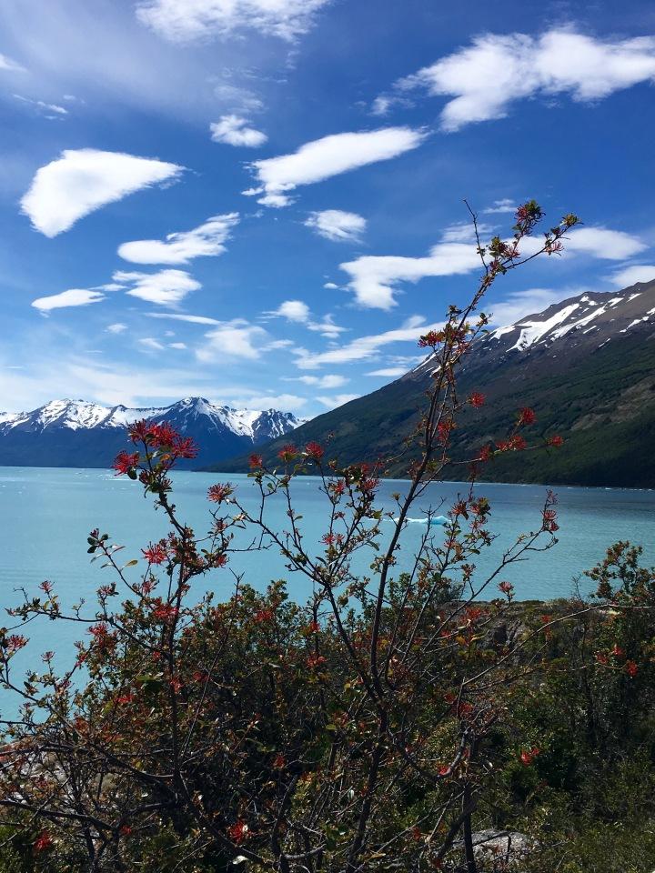 patagnia firebush